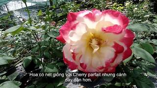 видео Роза Double Delight