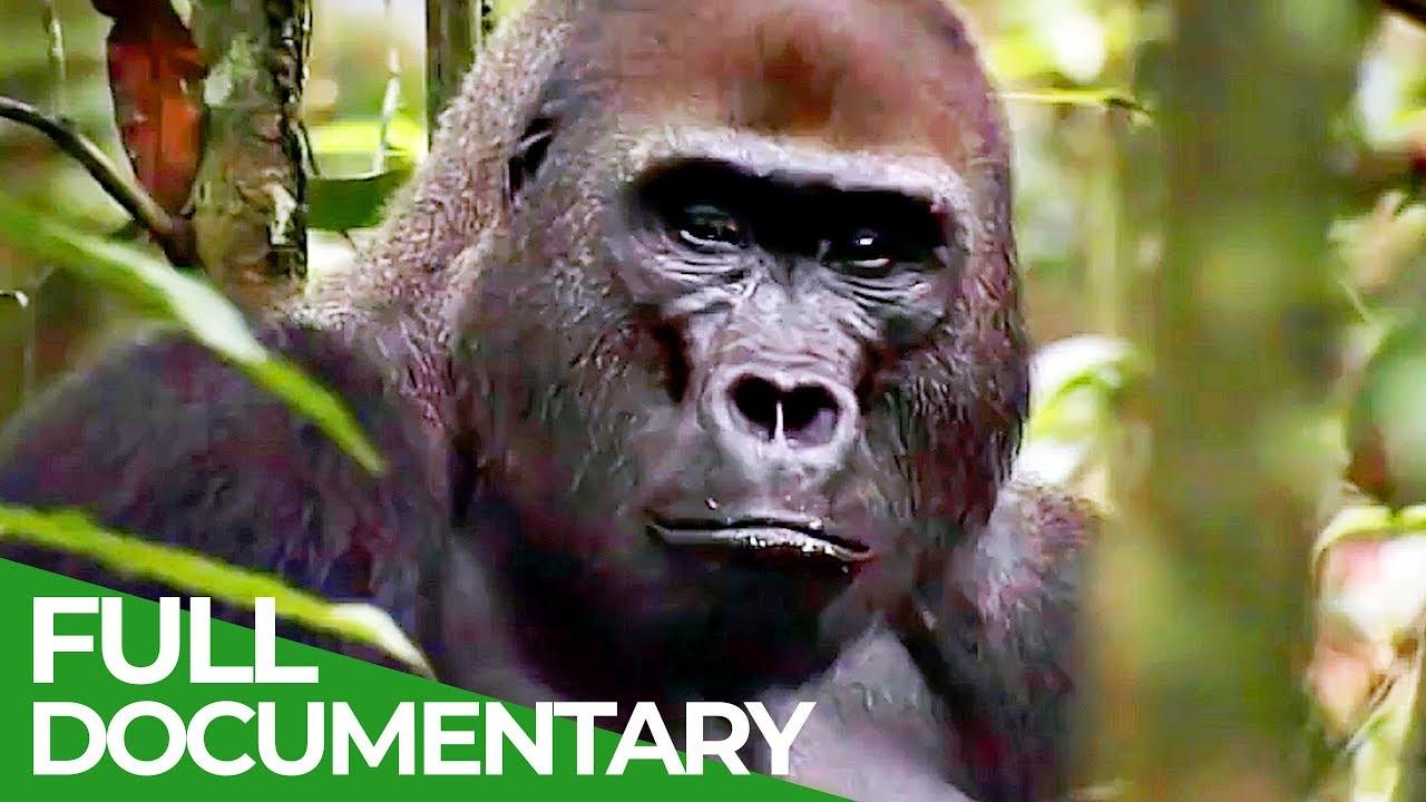 Gorillas: The Gentle Giants | Free Documentary Nature