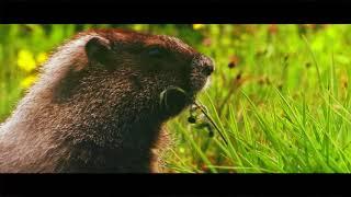 Windows movie - Vida selvagem   Adele - Rolling in the deep   4k  
