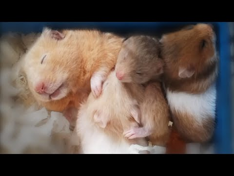 Syrian Hamster Babies Growing Up Part 2, Day 16 To Day 31
