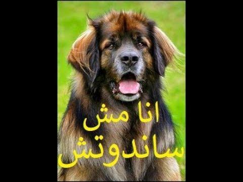 معلومات عن الكلب النادر ليون بيرجر | LEONBERGER Dog | THE LION DOG