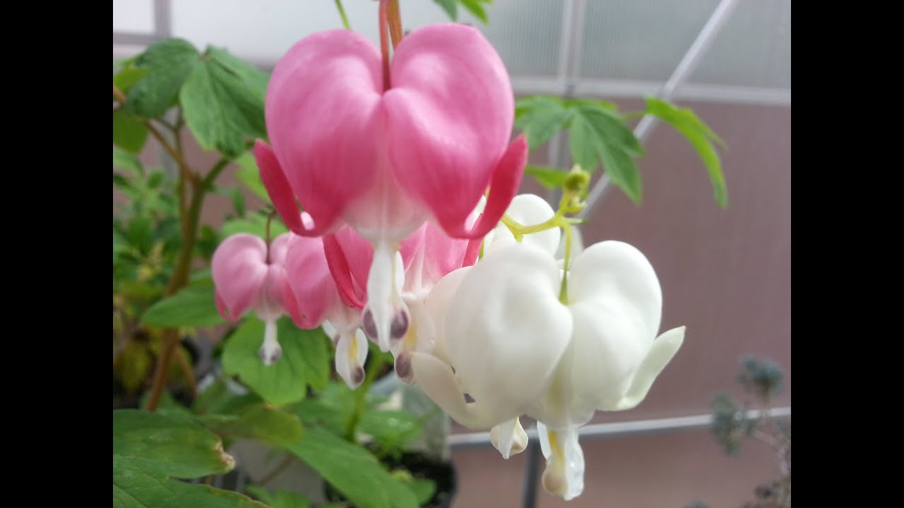 My Bleeding Heart Plants YouTube