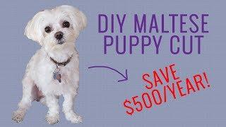 DIY Maltese Puppy Cut  Save $500+/year!