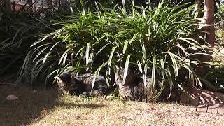 黒しまと母猫、寄り添ってお昼寝 thumbnail