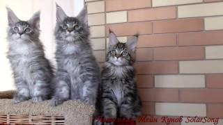 Котята Мейн Кун 5.01.17. 3 месяца