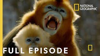 Forest of the Golden Monkey (Full Episode)   China's Hidden Kingdoms