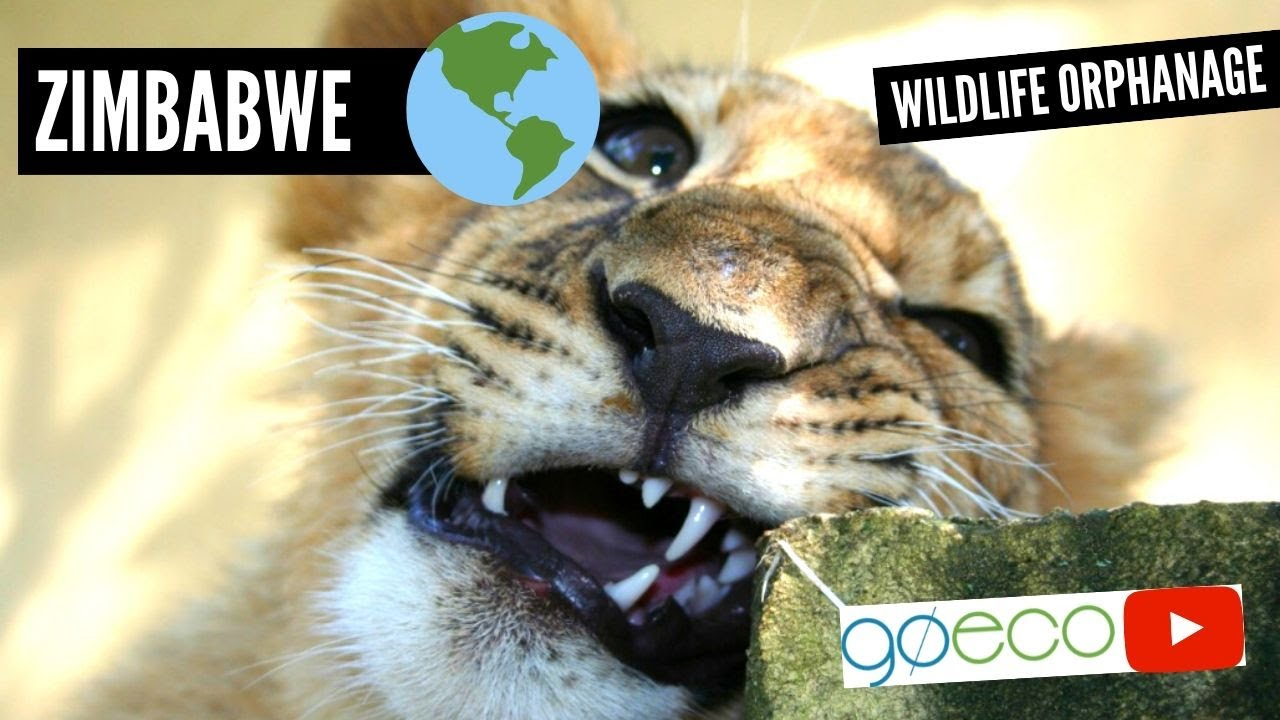 GoEco VOLUNTEER Trip Vlog - The Orphanage SAVING Africa's Wildlife image