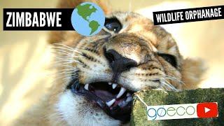 Volunteer TRAVEL VLOG at an African wildlife orphanage in Zimbabwe   GoEco