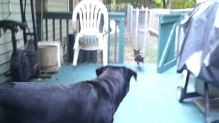 Vicious Rottweiler Chases Small Dog Lol