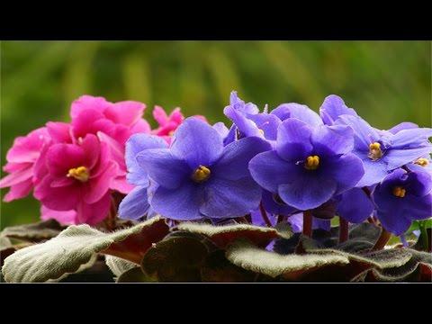 Curso Como Produzir Violetas - Tratos Culturais - Cursos CPT