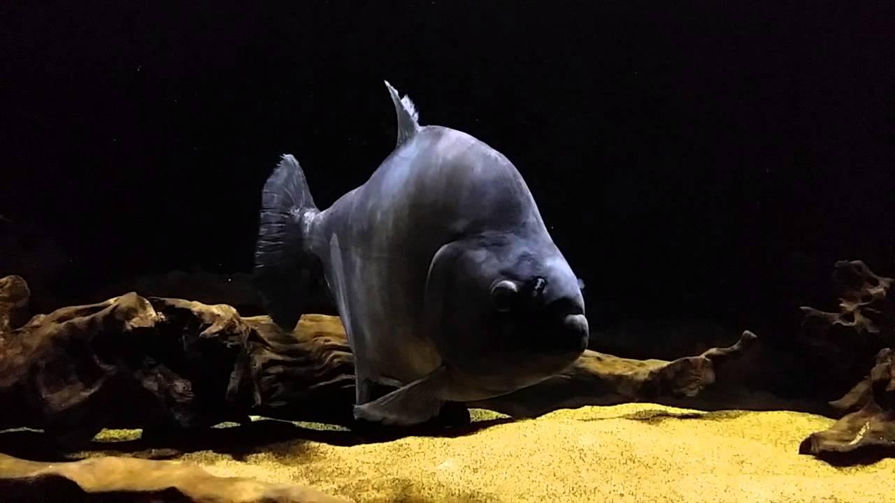 predatory project black piranha - monsterfish [hd] - youtube