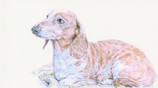 Dachshund Drawing