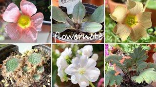 식물택배언박싱/ 봄꽃 가고소, 삼색 앵초, 옵튜사 사랑…