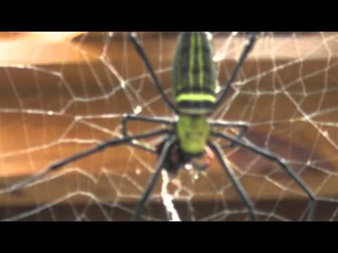 Taiwan's Giant Wood Spider 2012