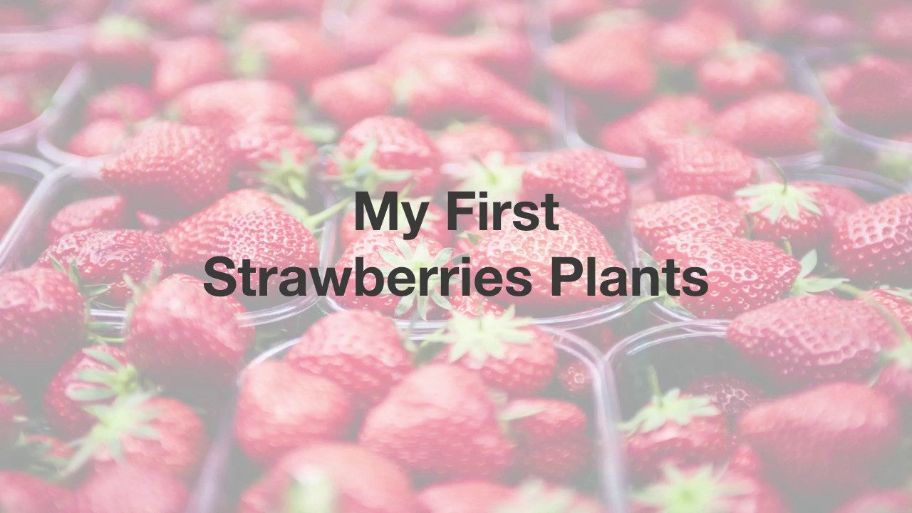 My First Strawberries Plants