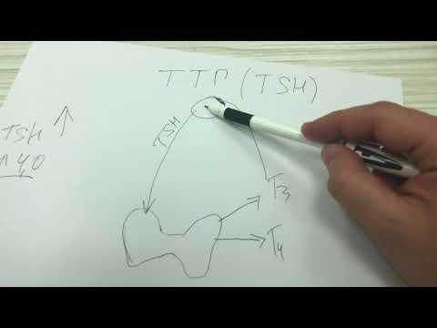 Что представляет собой гормон ТТГ?