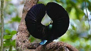 Papua: Surganya Burung Cantik nan Eksotis