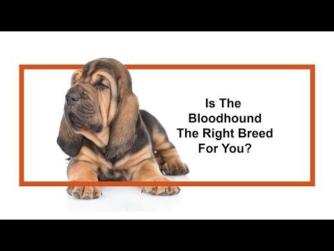 Everything Puppies - Bloodhound Breed Information (2019)