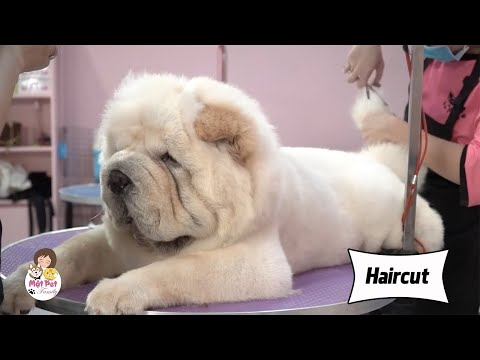 Haircut for the lion-faced dog - Funny dog video 2020 - Cut the hair to style the dog | Honey Pet