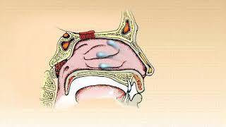 Физиологическая роль носа и околоносовых пазух