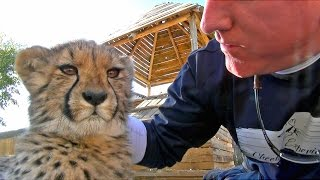 Baby Cheetah Cub Purring Cat PurrsPlays With Keeper At A Breeding Center In South Africa