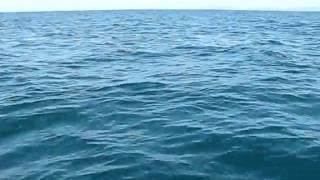 Delfines en el Golfo de Cariaco en el Estado Sucre. Venezuela..AVI