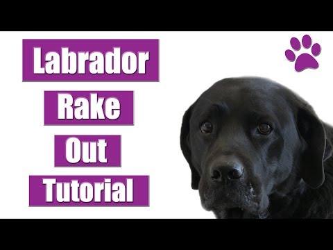 How To Rake A Labrador Retriever | Tutorial