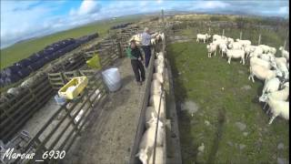 Sheep Work - August 2014