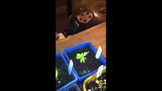 Chillinut seeds.MOV