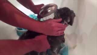 Как помыть кота)(Нашему коту Алексу 4 года. И это первое очень удачное купание. Никто не пострадал))), 2015-08-01T00:39:00.000Z)
