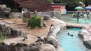 換羽中もフルルのそばを離れないグレープ君(東武動物公園) 2017年8月20日