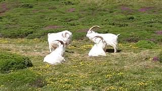 Kashmiri goats 🐐View of the City  Llandudno 🏴Kozy Kaszmirskie oraz panorama miasta⬇️