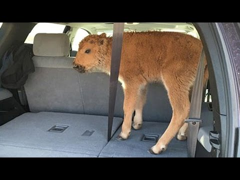 Yellowstone Bison Calf Euthanized After Tourists Put It In Car