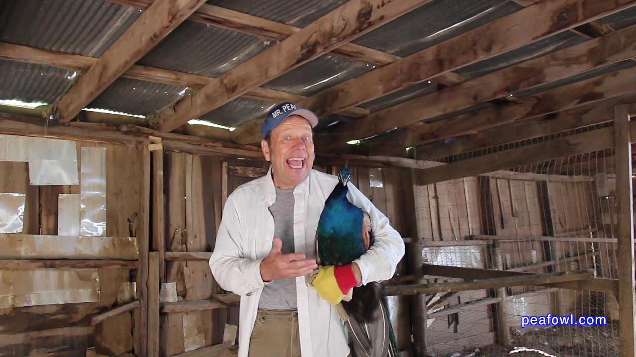 Peafowl rescue page