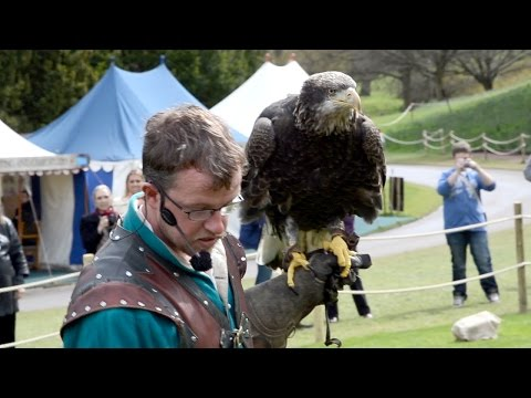 Young Bald Eagle Warwick Castle Falconry Show UK
