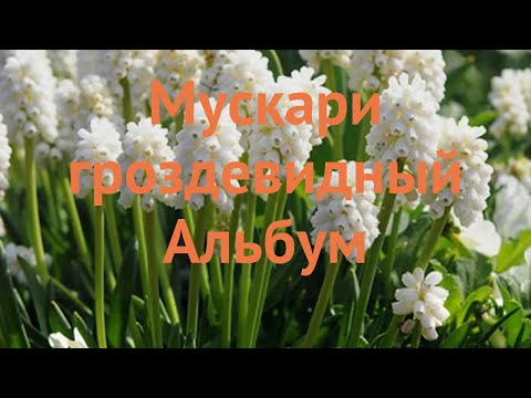 Мускари обыкновенный гроздевидный Альбум 🌿 обзор: как сажать, луковицы мускари гроздевидный Альбум