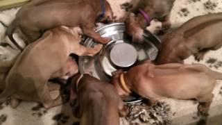 Ужин!   Щенки риджбека онлайн   Минск   Rhodesian Ridgeback Puppies   2017_03_02