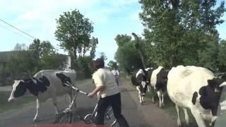 Krowy na drogach w Polsce koło Cichmiana
