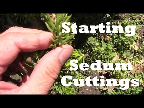 Starting Sedum From Cuttings. It really is this easy!