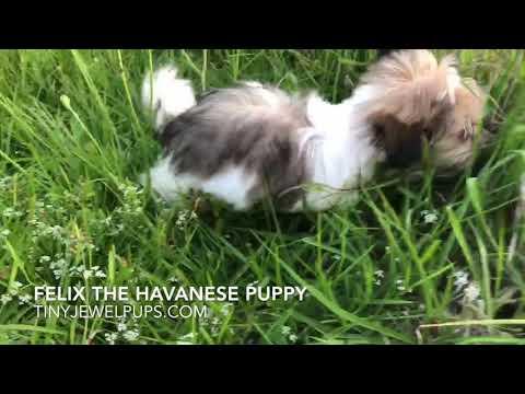Felix the Havanese Puppy