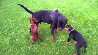 Miniature Pinscher Vs Rottweiler
