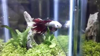 Rescue Three Betta fishes with a Planted Aquarium Divided Tank