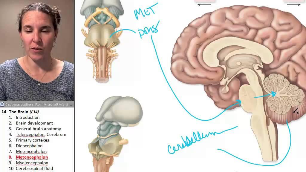 Brain 8- Metencephalon - YouTube