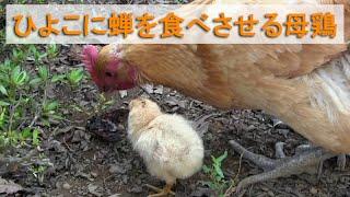 誕生から4日目のひよことお散歩中の母鶏がアブラゼミを捕まえました。 ...