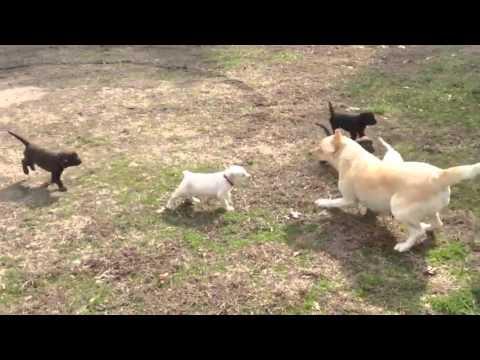Regalo Cuccioli Di Labrador Con Pedigree Per Una Nuova Casa Youtube