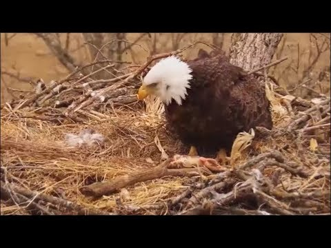 Decorah Eagles North-SAD NEWS- Newly Hatched DN10 Did Not Survive