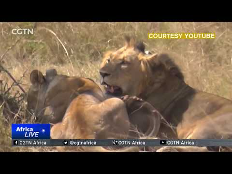 Rwanda imports lions from South Africa