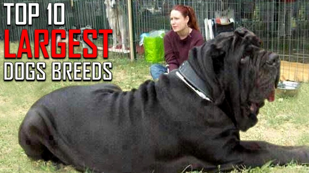 Top 10 Largest Dog Breeds - YouTube