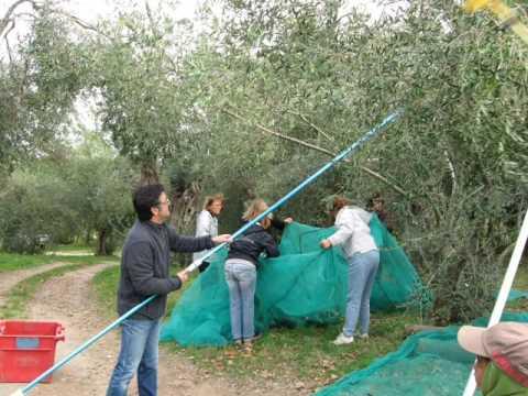 La cueillette des olives youtube - Appareil pour enlever les fourches ...