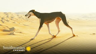 This Arabian Dog is Fast Enough to Catch a Gazelle  Amazing Dogs | Smithsonian Channel